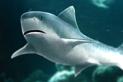 イタチザメの画像 p1_28